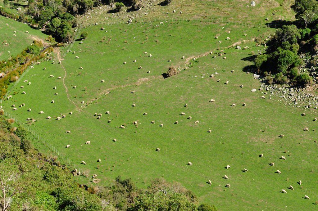 Rebanho enorme, Península Banks, Canterbury, Nova Zelândia