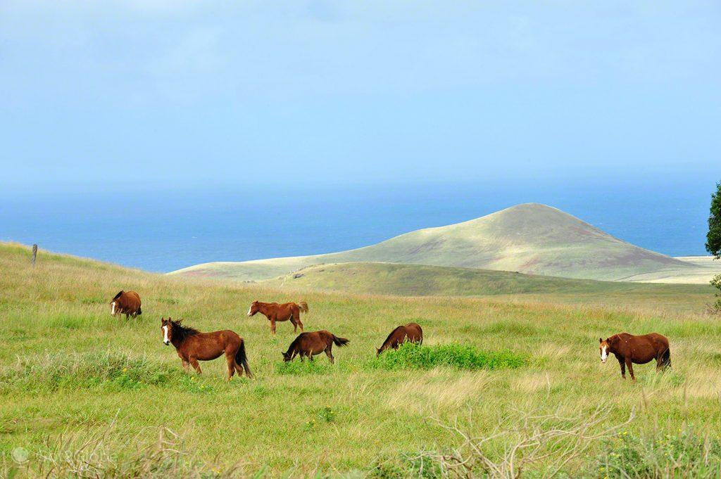 Manada, Ilha Pascoa, Rapa Nui, Chile