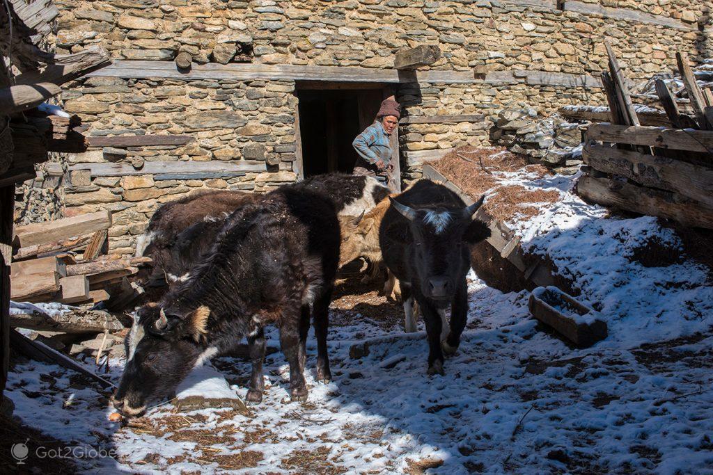 Soltura matinal do gado em Upper Pisang, Nepal