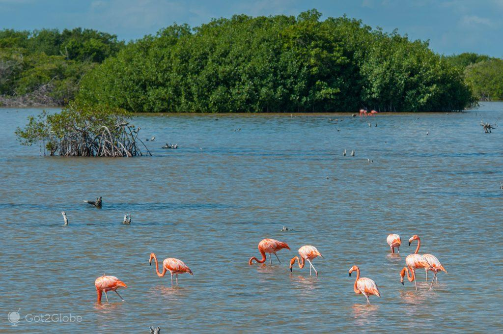 Flamingos na reserva natural El Corchito, Mérida, México
