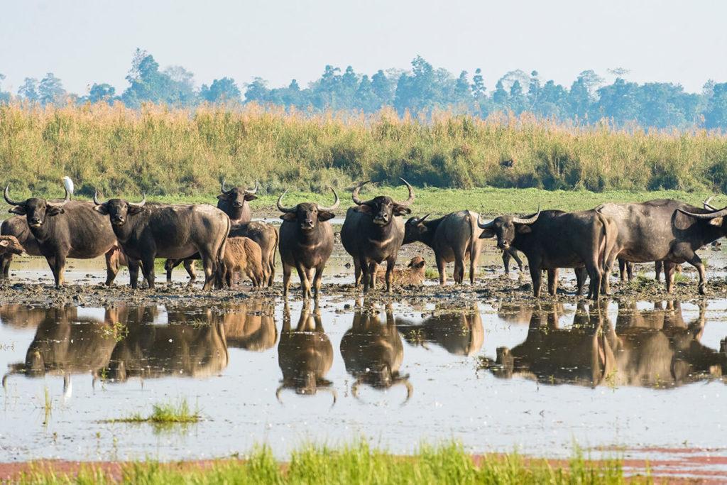 Manada de búfalos asiáticos, Maguri Beel, Assam, Índia