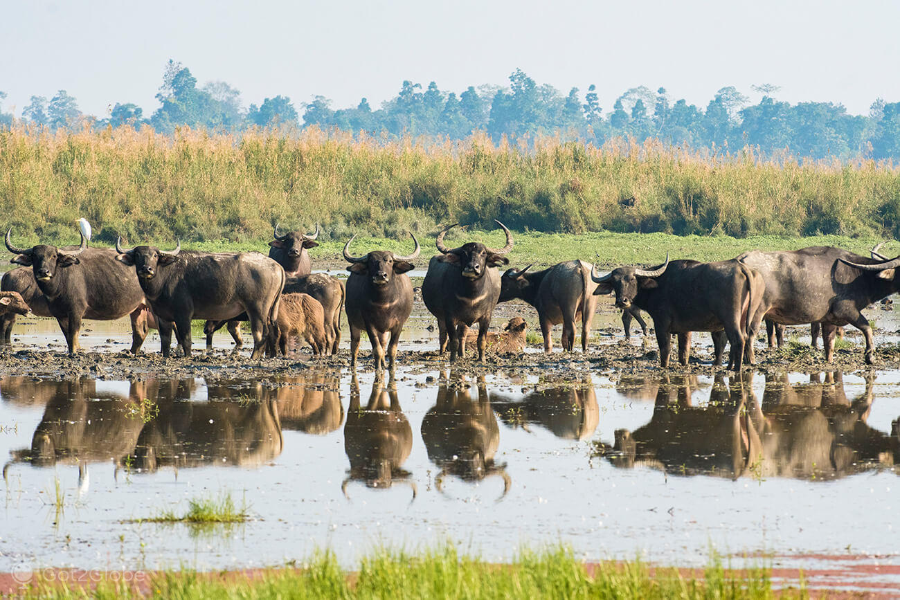 Manada de búfalos asiáticos numa zona lamaçenta do Maguri Beel, Assam
