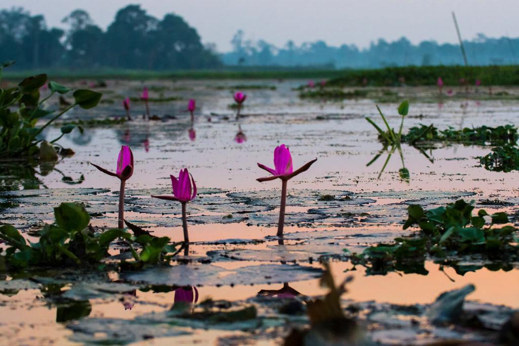 Nenúfares, Maguri Beel, Assam, Índia