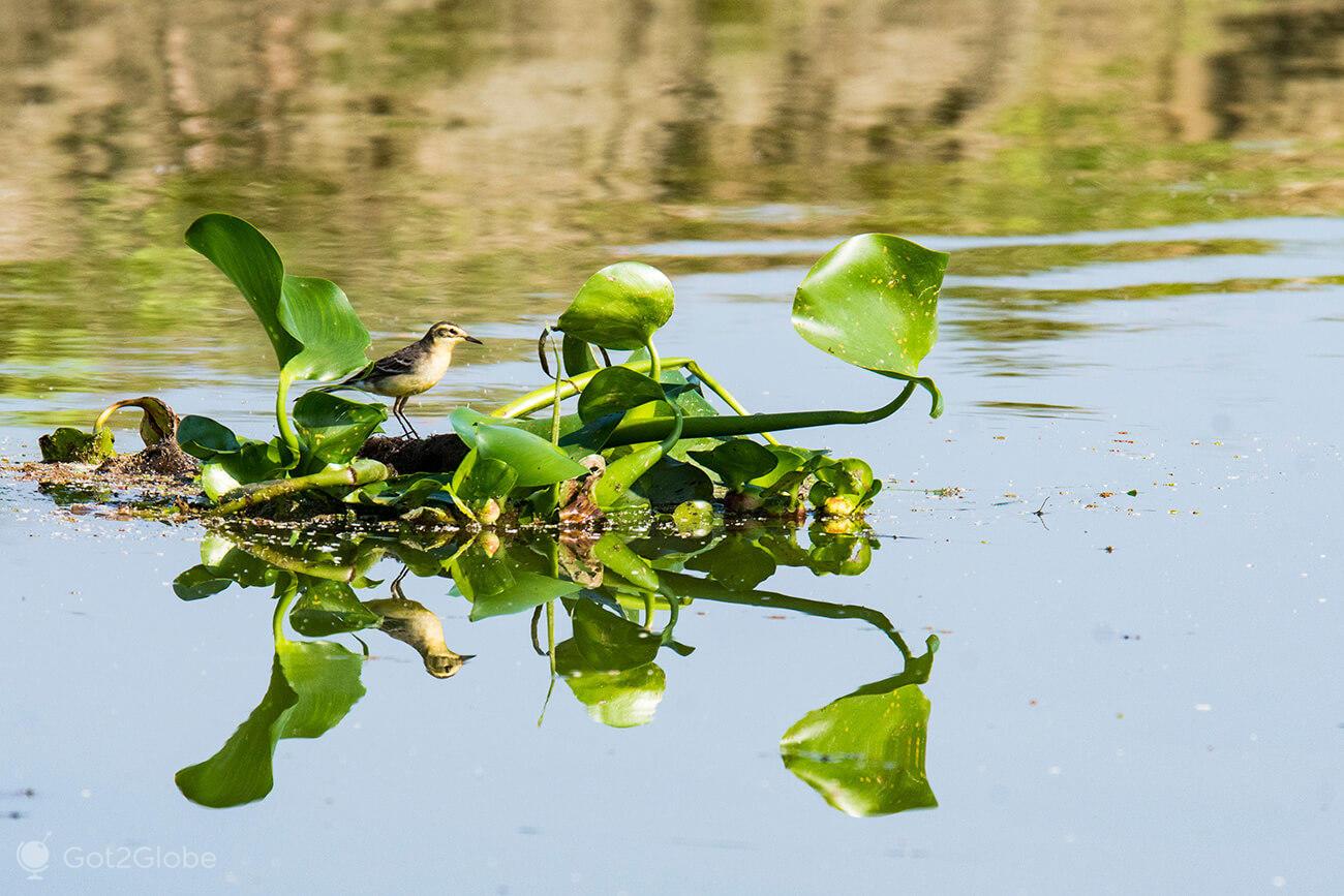 Ave sobre jacintos flutuantes, Maguri Beel, Assam, Índia