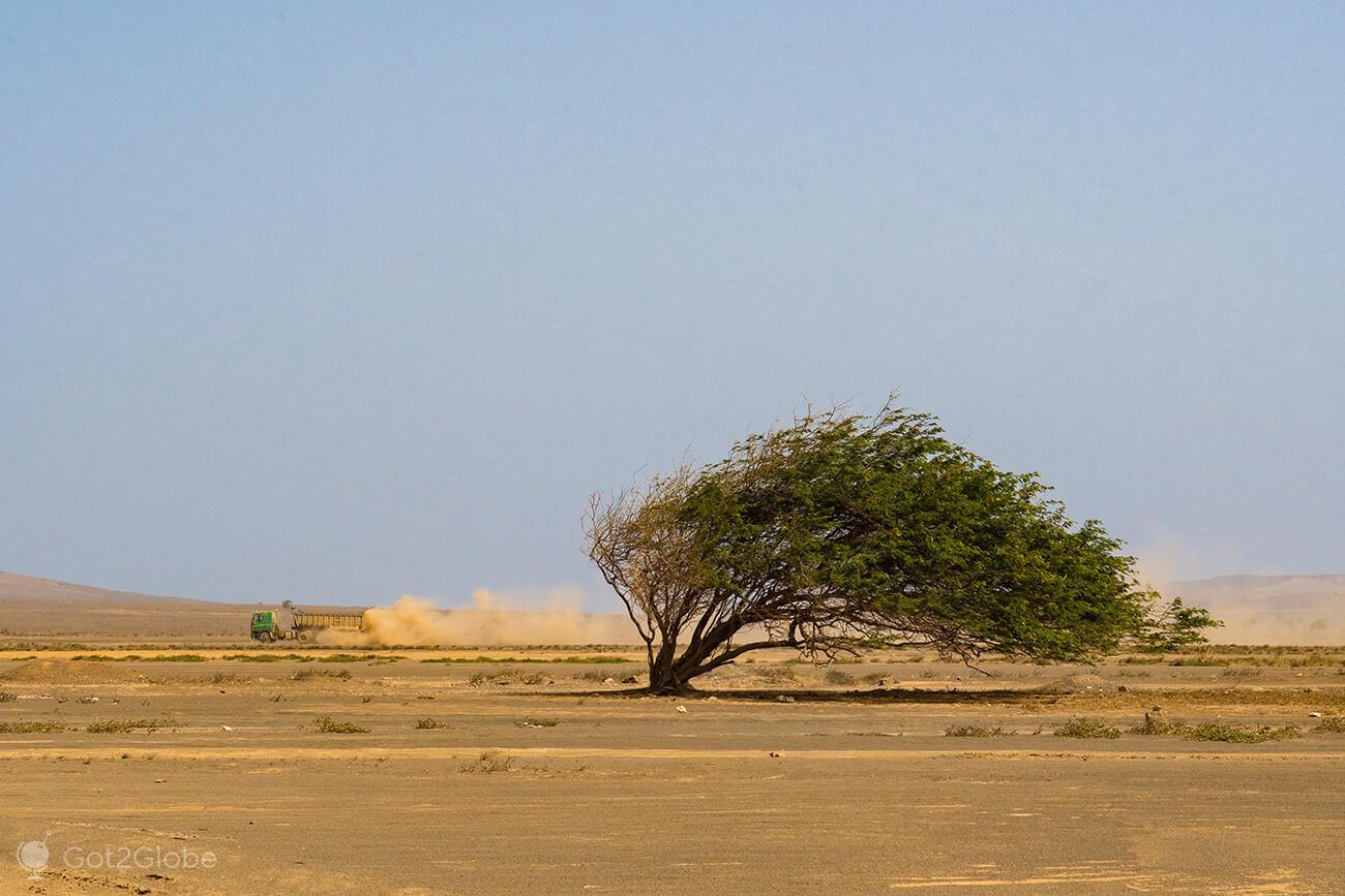 Árvore tombada pelos ventos alíseos, Terra Boa, ilha do Sal.