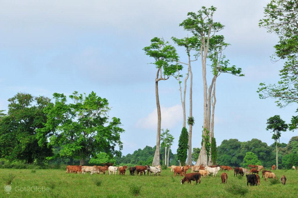 Vacas em Espiritu Santo, Vanuatu
