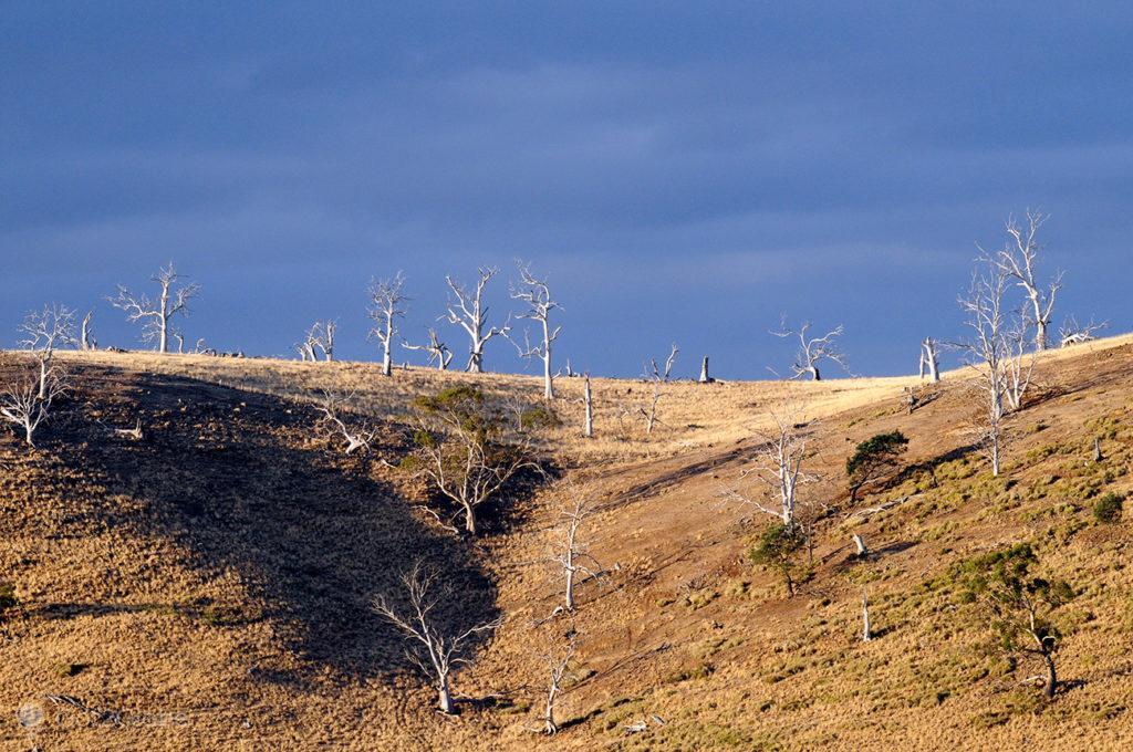 Árvores secas das Midlands, Tasmânia, Austrália