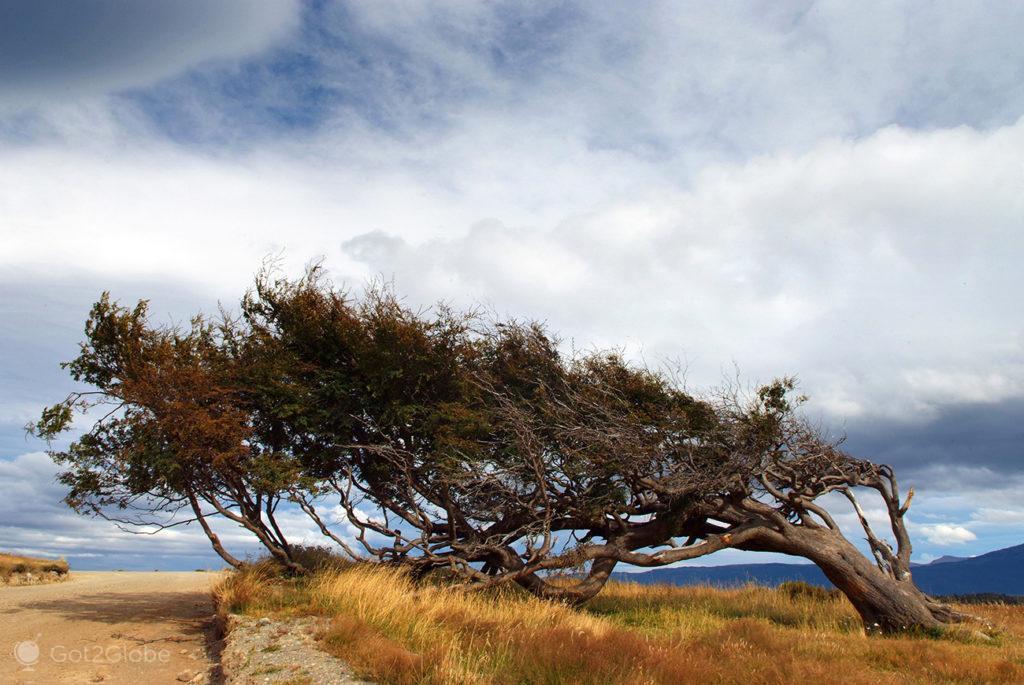 Árbole bandera, Tierra del Fuego, Argentina