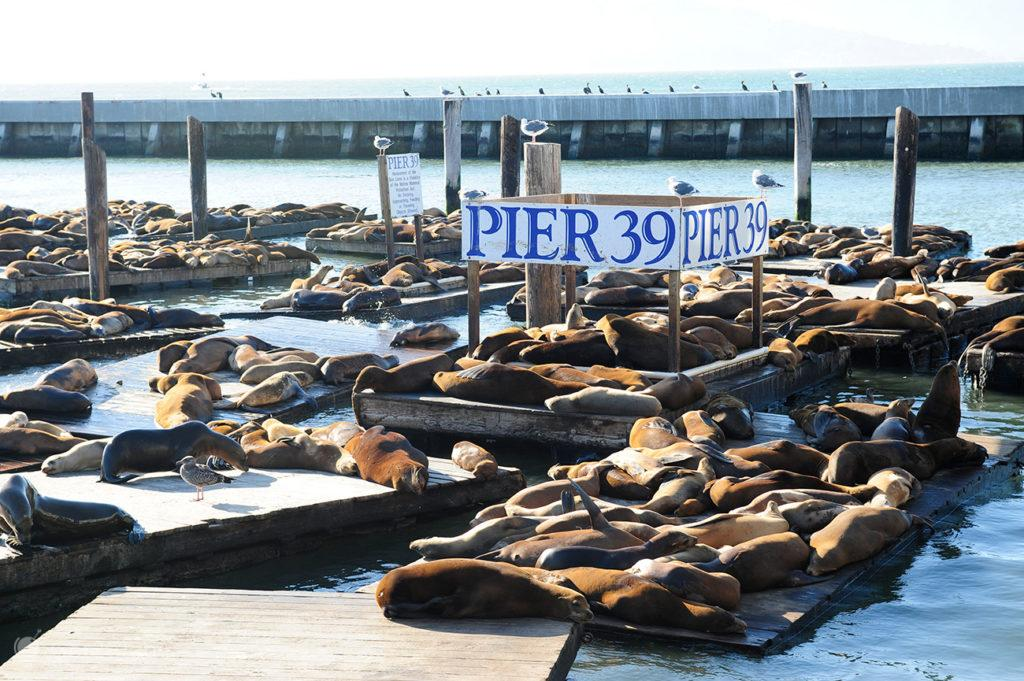 Leões no Pier 39 de São Francisco, Califórnia, Estados Unidos da América