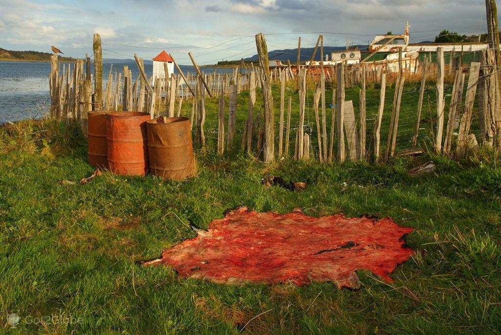 Pele de cordeiro seca ao sol na estancia Harberton, Tierra del Fuego, Argentino