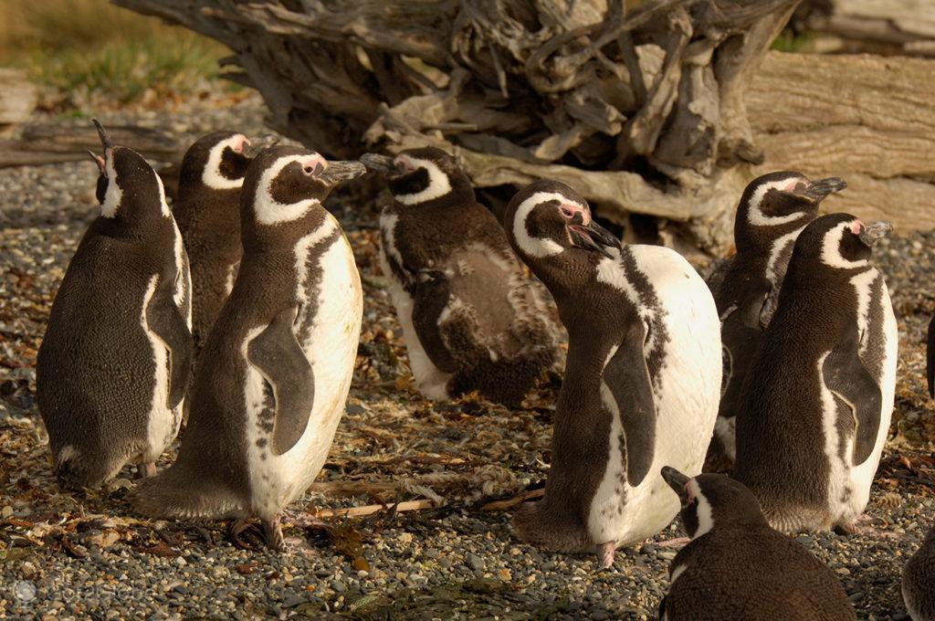 Pinguins da ilha Martillo, Tierra del Fuego, Argentina