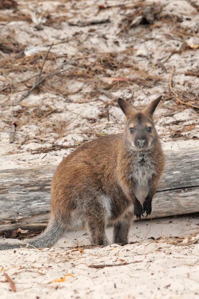 Wallaby, Wineglass Bay, PN Frecynet, Tasmânia, Austrália