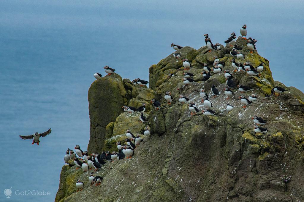 Colónia de papagaios-do-mar à entrada de Mykinesholmur, Ilhas Faroé