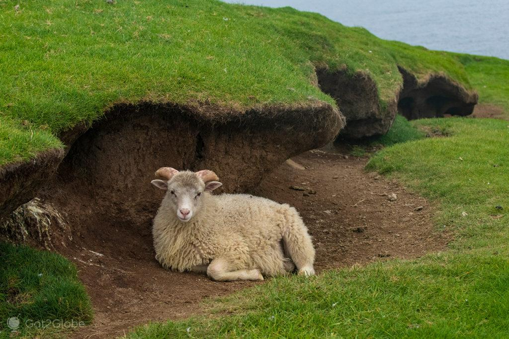Cordeiro abrigado do vento em Mykinesholmur, Ilhas Faroé