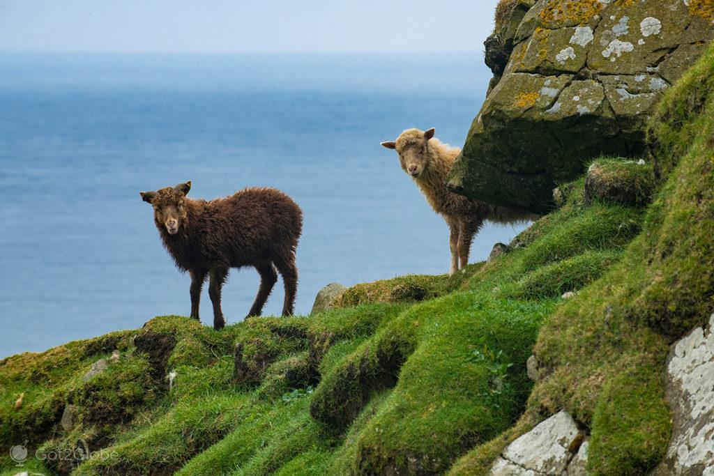 Ovelhas em Mykines, Ilhas Faroé