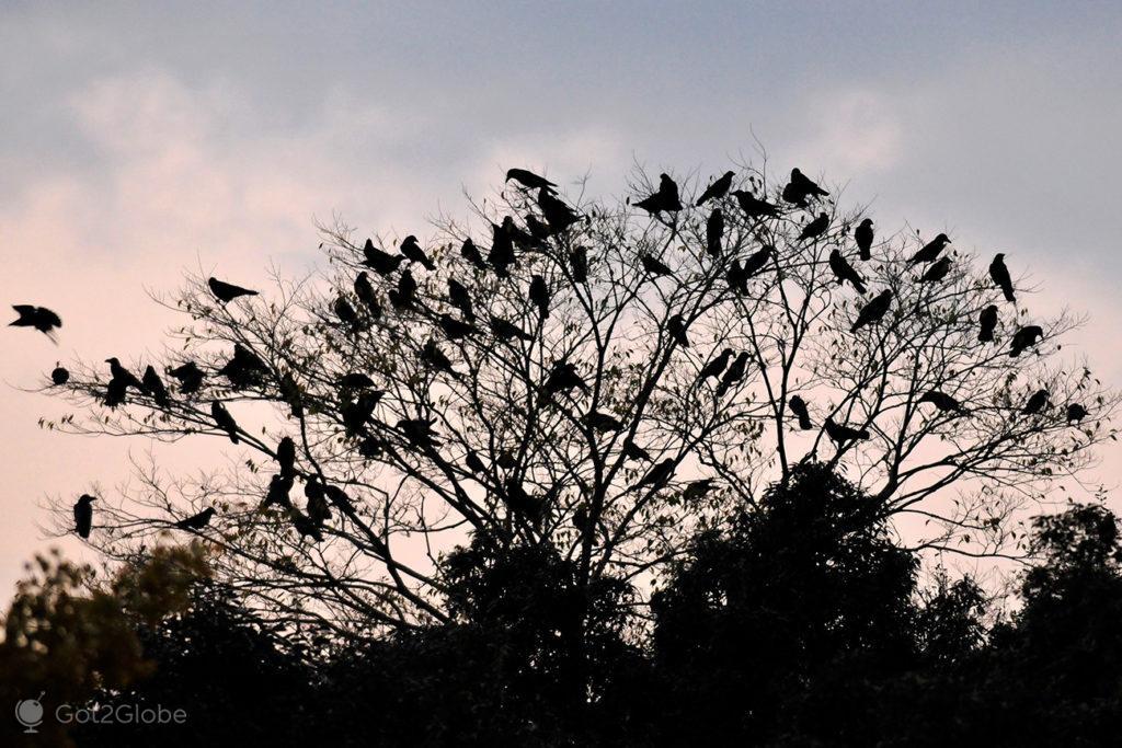 Corvos em árvore no Nara Park, Japão