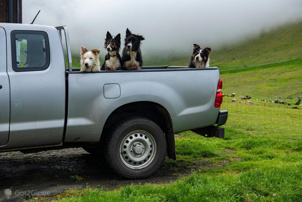 Cães-pastores em Trollanes, Kalsoy, Ilhas Faroé