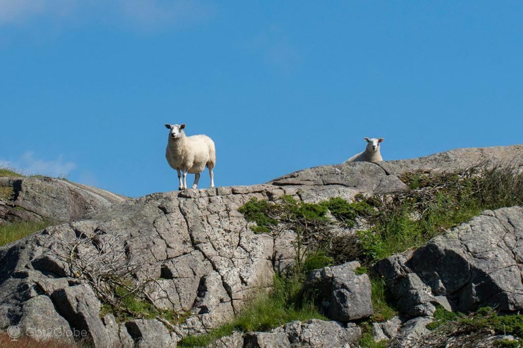 Ovelhas junto ao farol de Eigeroy, Egersund, Noruega