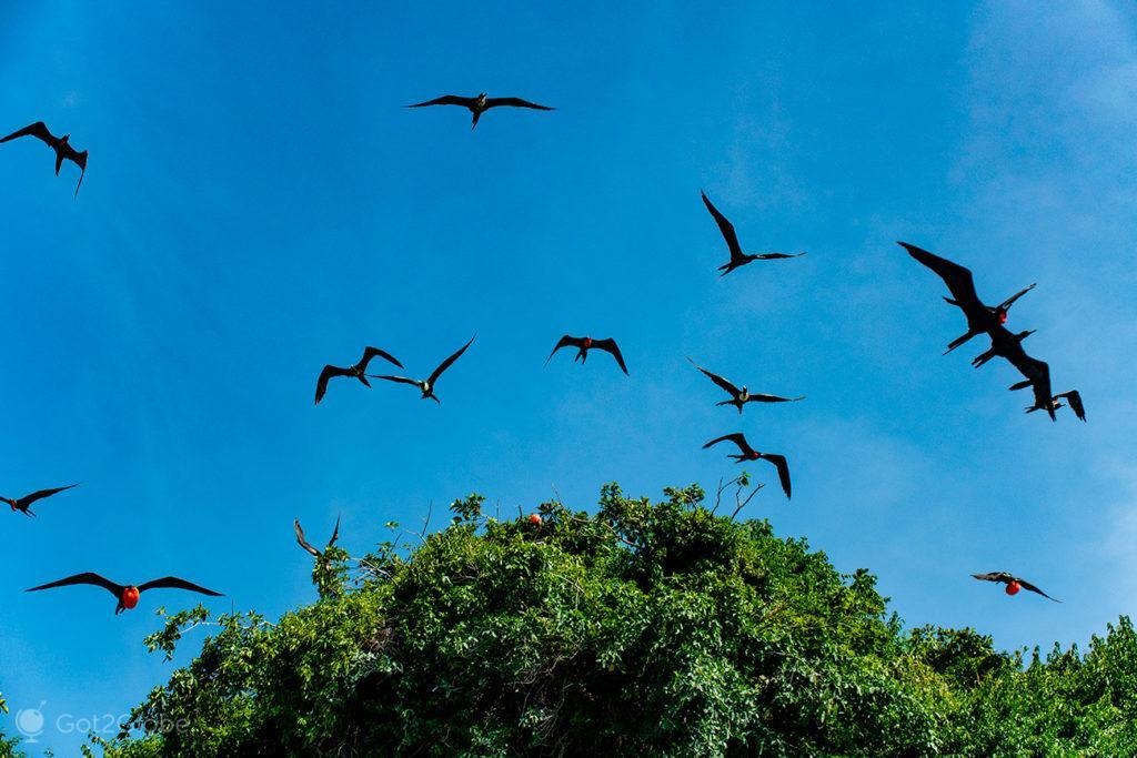 Fragatas, Cayo de Los Pájaros, Los Haitises, República Dominicana