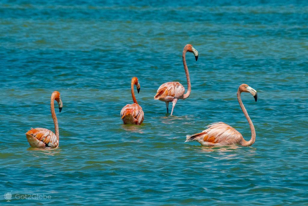 Flamingos, Laguna Oviedo, República Dominicana