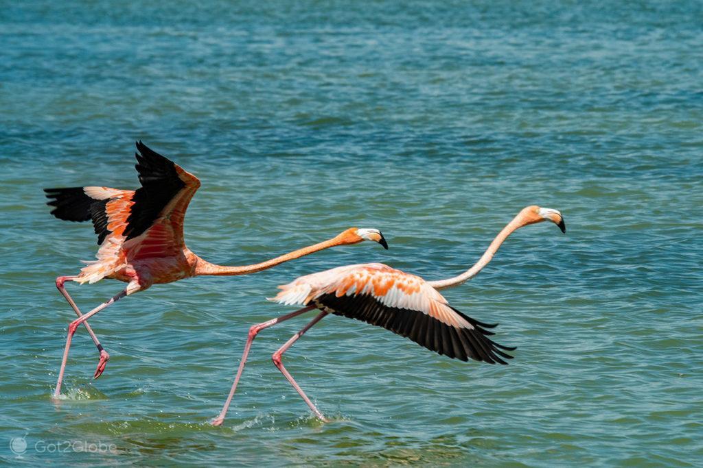 Flamingos em voo, Laguna Oviedo, República Dominicana