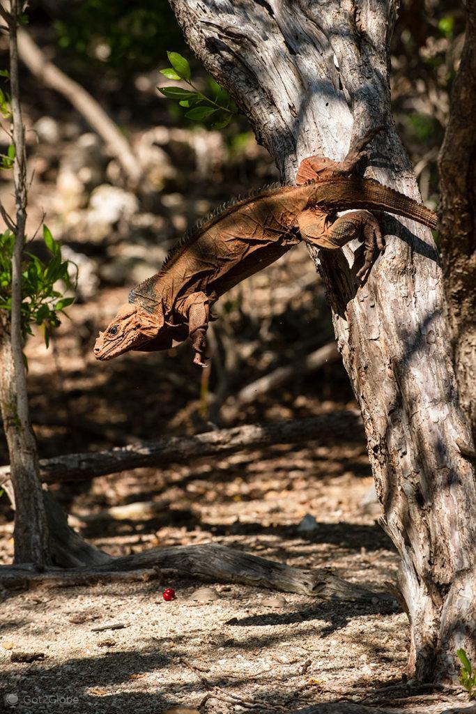 Iguana em salto, Laguna de Oviedo, República Dominicana