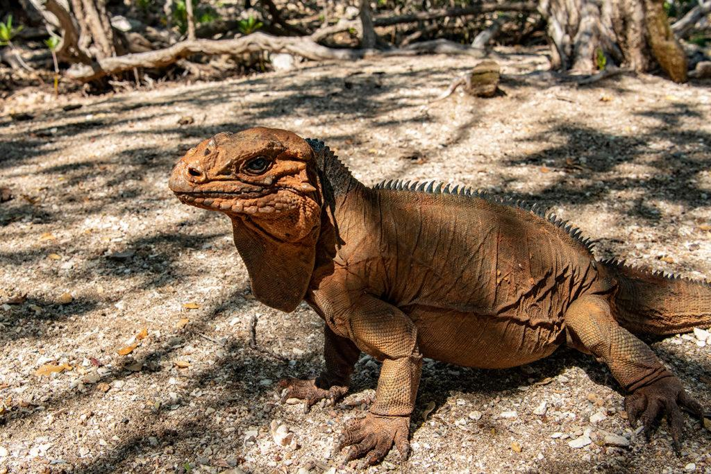 Iguana, Laguna de Oviedo, República Dominicana
