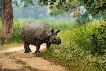 Rinoceronte, PN Kaziranga, Assam, Índia
