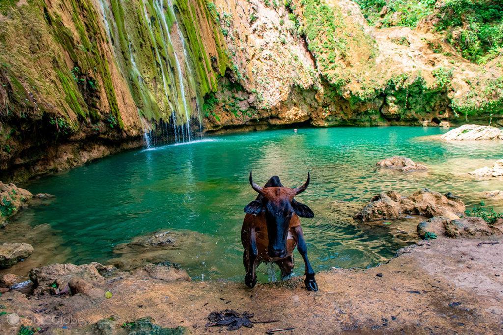 Vaca ensopada, Cascada Limón, Península de Samaná, República Dominicana