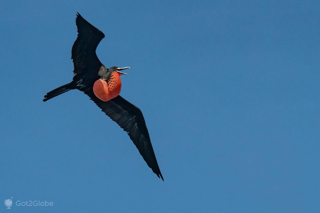 Fragata macho, Cayo Los Pájaros, Los Haitises, República Dominicana