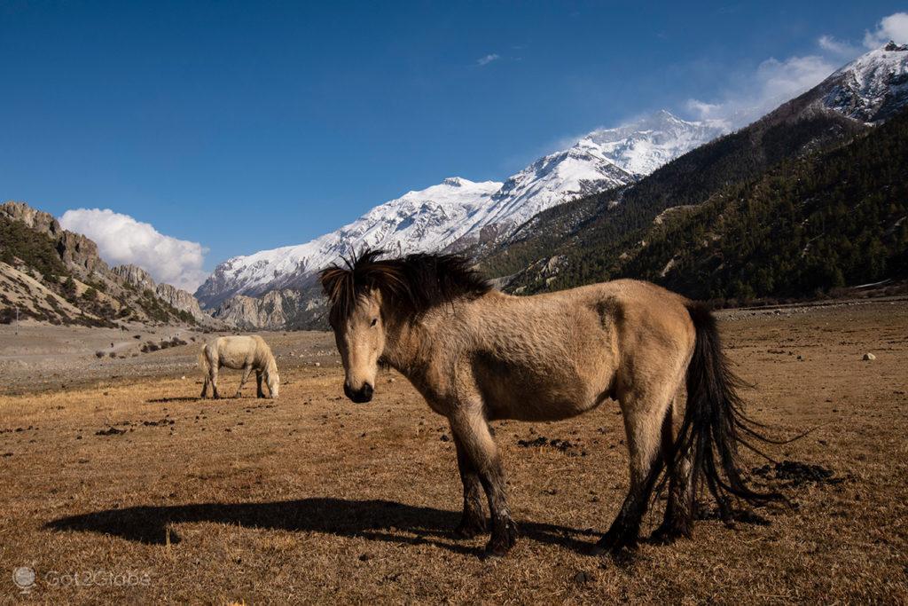 Cavalos num pasto, rio Marsyangdi, Circuito Annapurna, Nepal