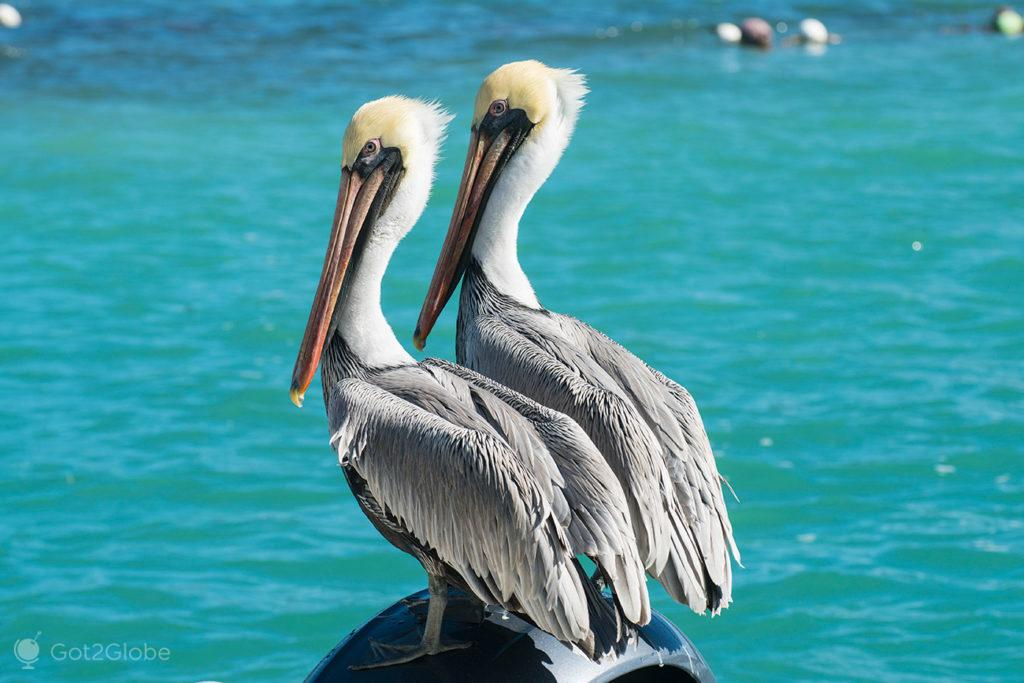 Pelicanos, Key West, Florida, Estados Unidos