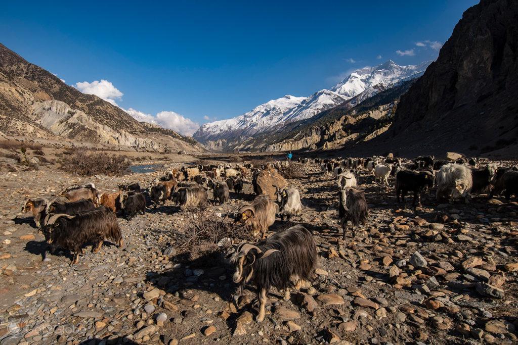 Rebanho de Cabras, Manang, Circuito Annapurna, Nepal