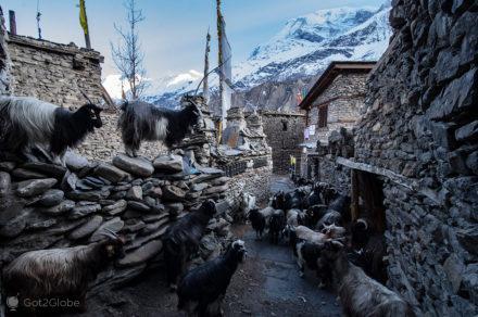 Rebanho em Manang, Circuito Annapurna, Nepal