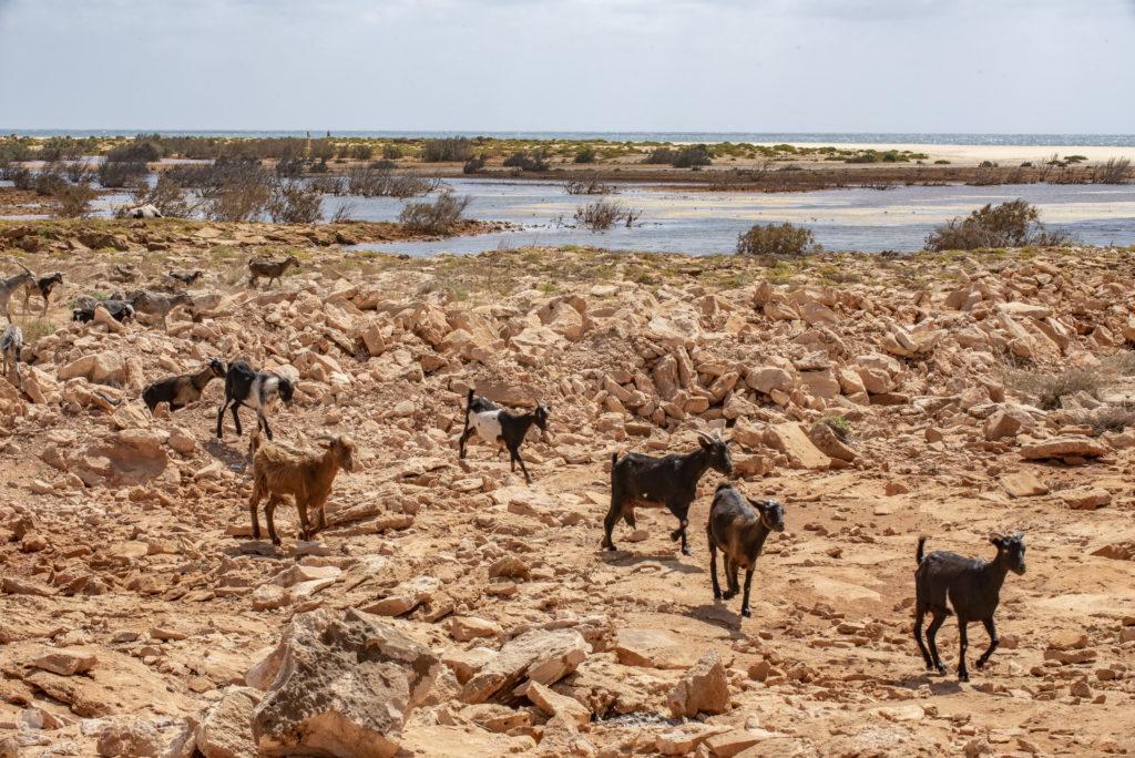 Cabras, Ilha da Boa Vista, Cabo Verde, Sal, Evocar o Sara