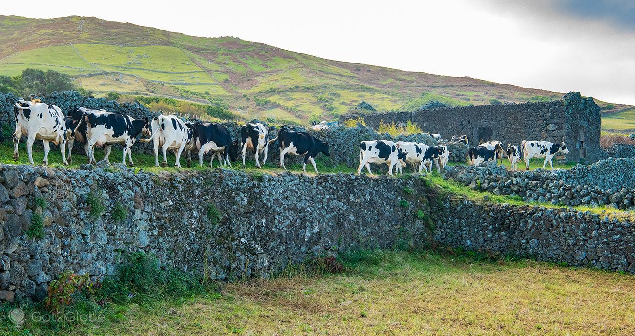 Graciosa, Açores, manada de vacas