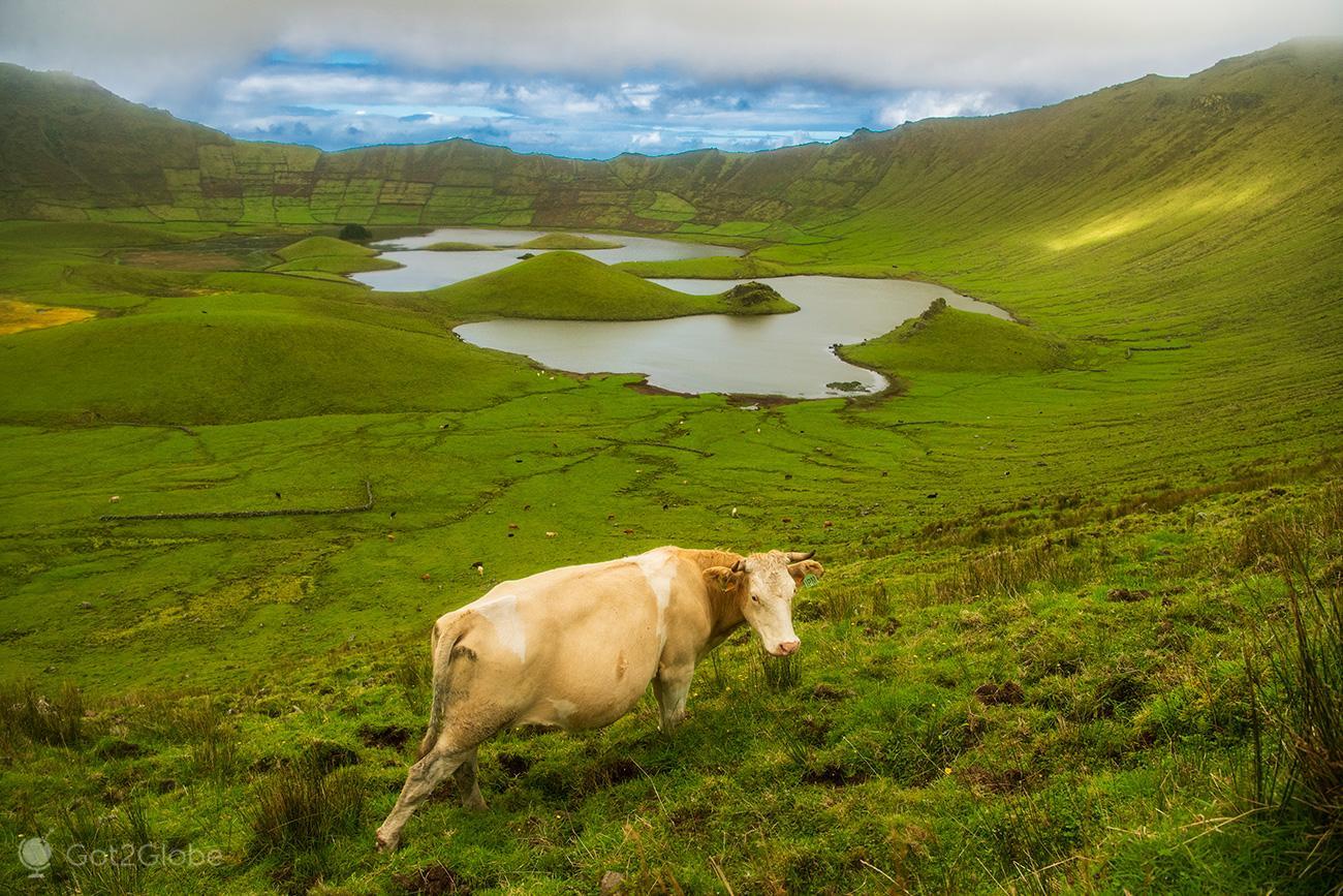 Ilha do Corvo, Açores, vaca no Caldeirão