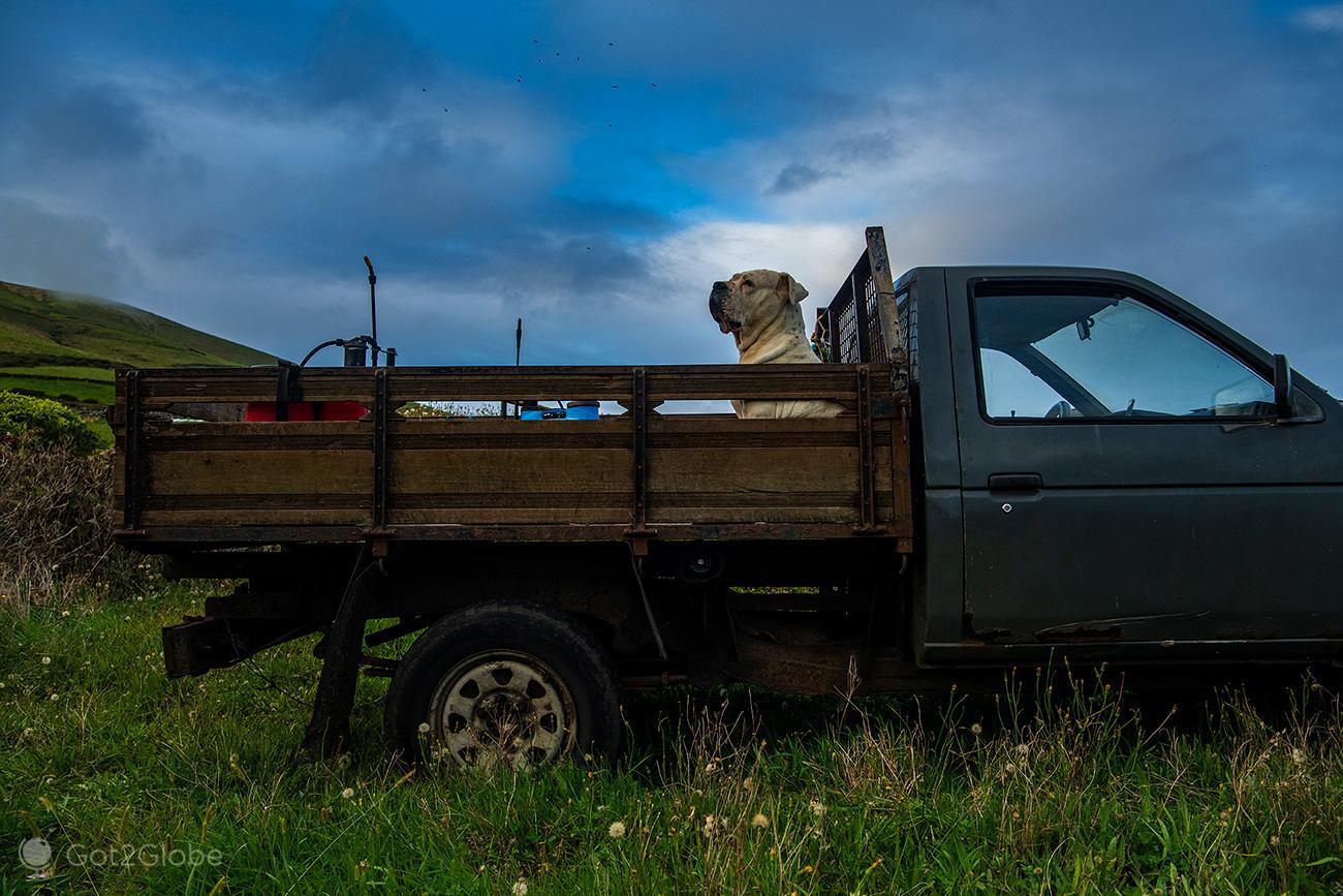 Cão ilha do Corvo, Açores