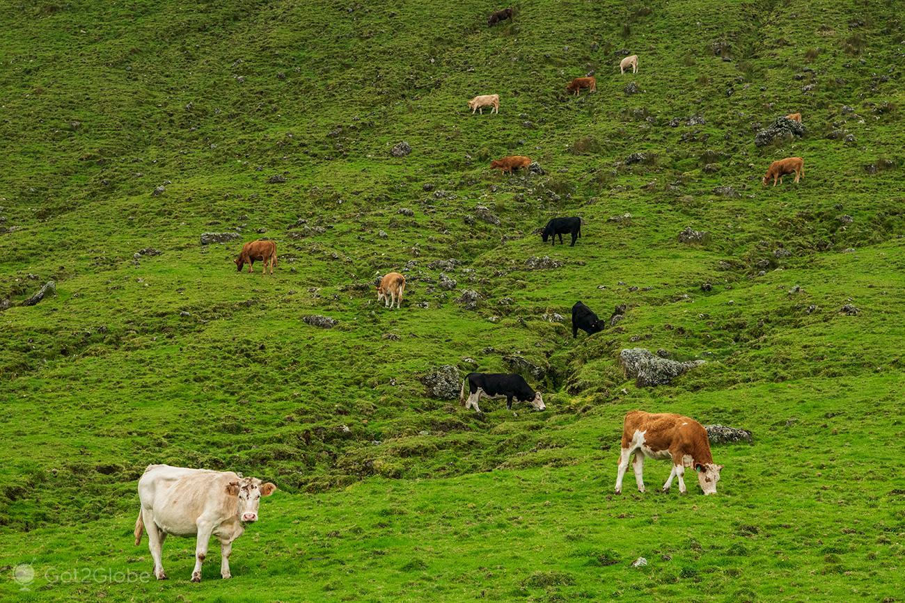 Ilha do Corvo, Açores, vacas pastam no Caldeirão