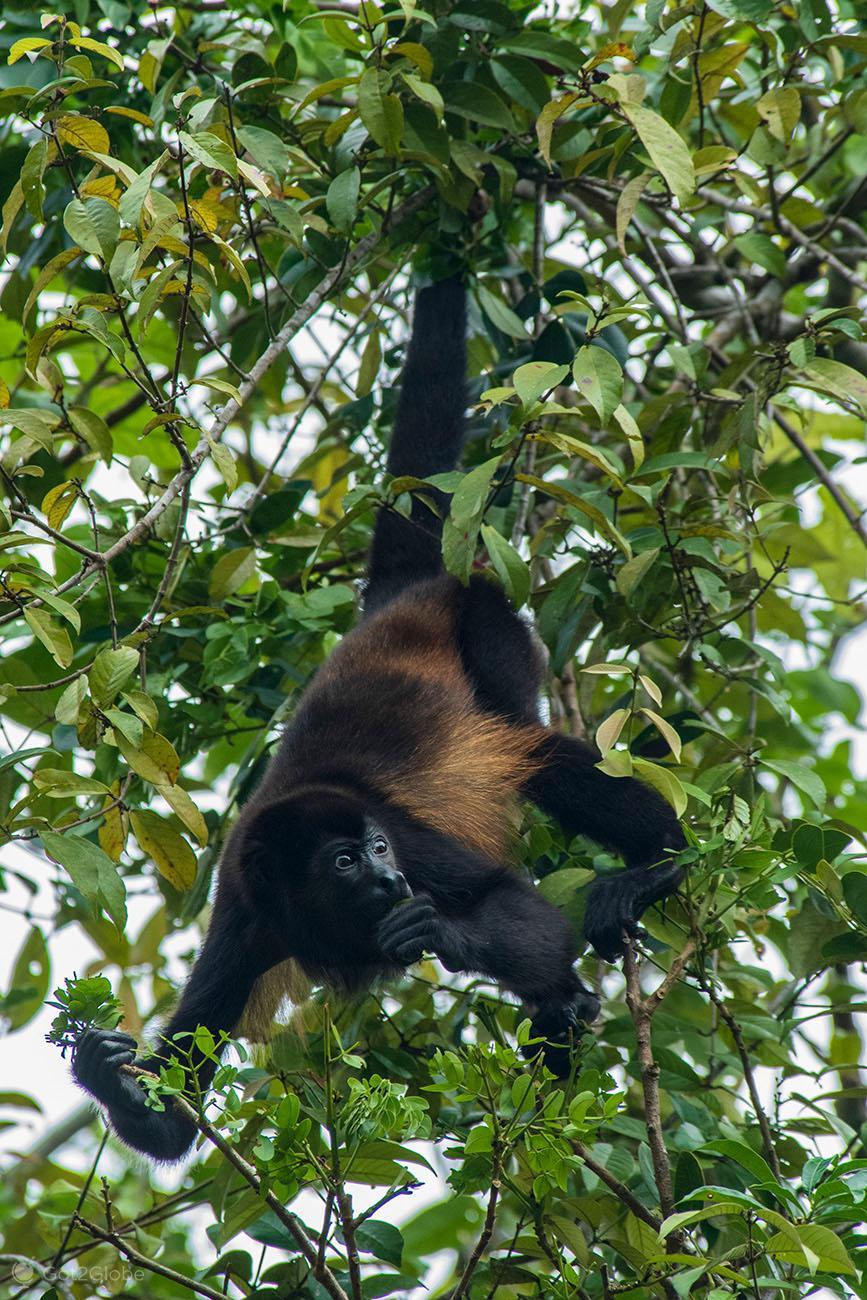Macaco-uivador, PN Tortuguero, Costa Rica