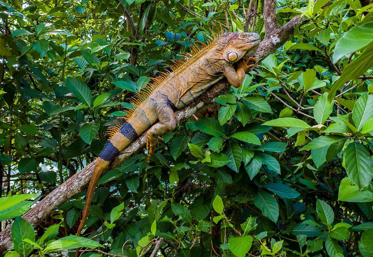 Iguana em repouso, PN Tortuguero, Costa Rica